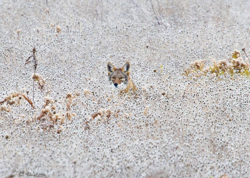 Coyote_on_the_Mound